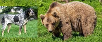 is a bluetick coonhound a good pet bluetick coonhound hurt by a bear pro pet hero blog