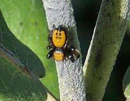 spiders colorado