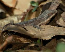 Backyard Reptiles 29 Best Anoles Images On Pinterest Lizards Chameleons And Reptiles