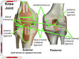 Lateral Patellar Ligament Hip U0026 Lower Limb Muscles Ppt Video Online Download