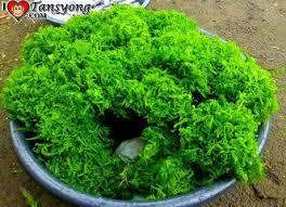 simply edible curios to taste paco or simply edible fern paperblog