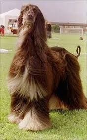 does an afghan hound shed afghan hound dog breed information and pictures