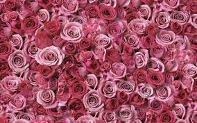 Meaning Of Pink Valentine Day 2014 Wallpaper Pink Roses
