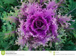 ornamental cabbage growing in the soil flowering cabbage