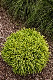 best 25 dwarf shrubs full sun ideas on pinterest evergreen