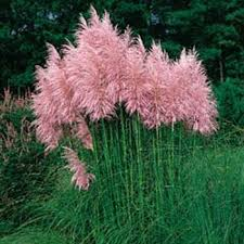 pink pas grass seeds cortaderia selloana ornamental grass seed
