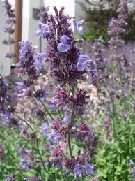 Catnip Flower - purple catnip flowers 2 by fantasystock on deviantart
