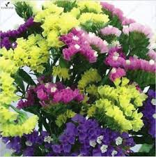 statice flowers statice seeds limonium sinuatum 7colors mixed statice flower