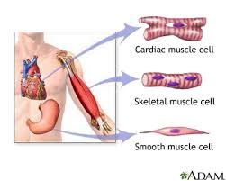 Anatomy And Physiology The Muscular System Muscular System Anatomy U0026 Physiology