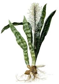 Plants That Dont Need Sunlight by Snake Plant Mother In Law U0027s Tongue Caring For The Sansevieria Plant