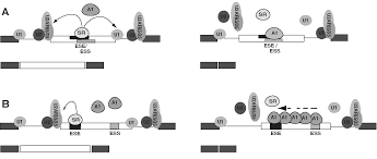 hnRNP A1 The Swiss Army Knife of Gene Expression