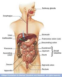 Anatomy Of Stomach And Intestines The Digestive System And Urinary Tracts Stomaatje Com