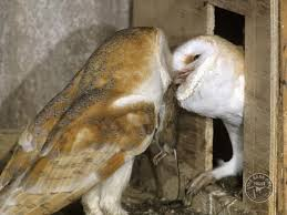 What Does A Barn Owl Look Like Legal Protection For Nesting Barn Owls The Barn Owl Trust