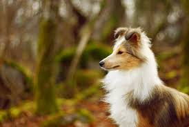 Best Friend Wallpaper by Shetland Sheepdog Widescreen High Resolution Desktop