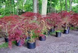 an update on my japanese maples the martha stewart