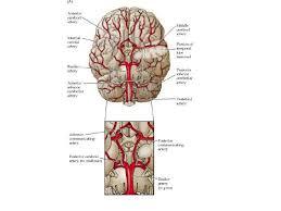 Human Anatomy Upper Body Arteries U0026 Veins Of The Upper Body