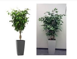 Plant For Office | plant of the month ficus benjamina moore park plantscapes