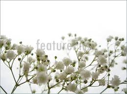 baby breath flowers baby s breath stock picture i1267408 at featurepics