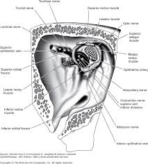 The Anatomy And Physiology Of The Eye Chapter 1 Anatomy U0026 Embryology Of The Eye Vaughan U0026 Asbury U0027s