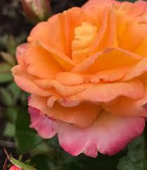 roses in bloom at the lyndale park rose garden thirdeyemom