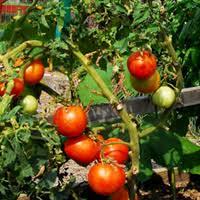 Rugged Boy Tomato Better Boy Sierra Vista Growers