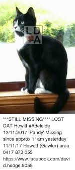 Missing Cat Meme - still missing lost cat hewitt adelaide 12112017 pandy missing