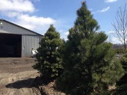 austrian pine trees pinus nigra hoosier home and garden