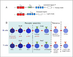 heavy chain light chain b and t cell development a the ig heavy and light chain genes are