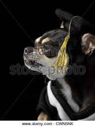 dog graduation cap and gown graduation cap and gold tassel isolated on white background stock