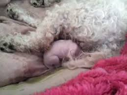 bichon frise breed standard bichon frise giving birth youtube