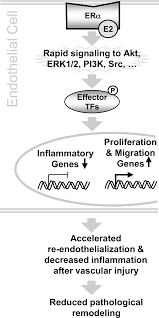 er alpha rapid signaling is required for estrogen induced