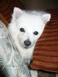 american eskimo dog london the american eskimo is a stunning small to medium size nordic