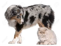 t jag s australian shepherds spotted cat stock photos royalty free spotted cat images and pictures