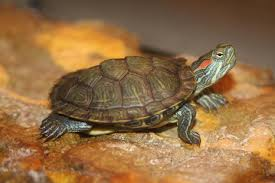 Texas Map Turtle Fish Tank Map Turtle Tank Size Red Eared Slider Stripe Behind Ear