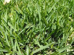 shade grasses that improve turf trees