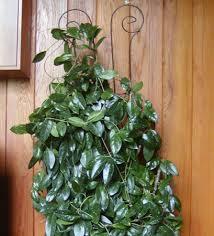 houseplant trellis house plant sighting church of the flying spaghetti monster