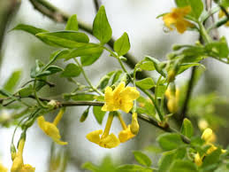 Most Fragrant Plants Common Jasmine Varieties U2013 What Are Some Different Types Of Jasmine