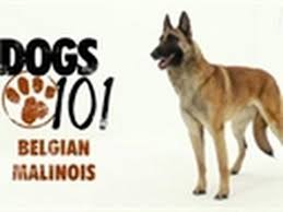 belgian malinois quotes 76 best malinois images on pinterest belgium malinois german