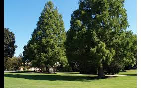 why are many evergreen trees shaped like a pyramid wonderopolis