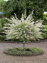 if you re looking for a pink then bright white shrub that s