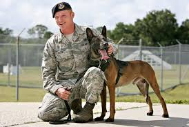 belgian malinois in movies bomb sniffing malinois has macdill u0027s backing as hero dog tampa