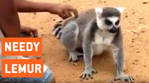 Lemur Meme - lemur asks for back scratch needs some lovin youtube