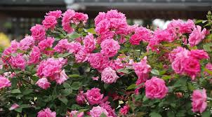 top 10 best climbing roses for your garden u2013 pyracantha co uk