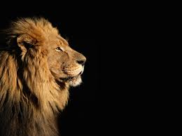 male lion wallpapers images