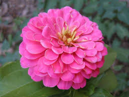 zinnia flower requirements to grow zinnia flowers orchid flowers