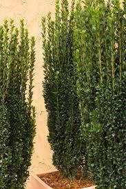 sweet viburnum 200mm pot viburnum 168 best plants for tb garden images on pinterest garden