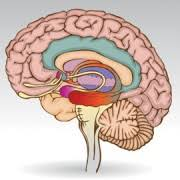 What Portion Of The Brain Controls Respiration How The Brain Works Brain Up