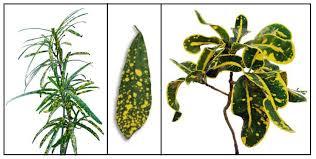 List Of Tropical Plants Names - sagilala croton san francisco codiaeum variegatum philippine