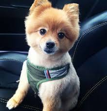 summer haircut pomeranian have your little pomeranian look like a fierce lion with these