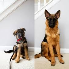 3 month old australian shepherd weight german shepherd puppy to dog in 3 months german shepherd puppies
